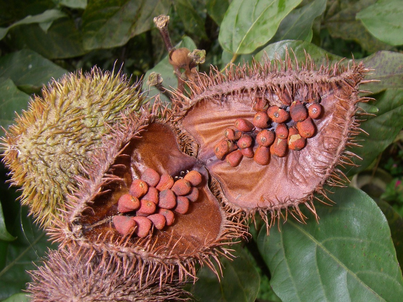 Achiote (annatto) seeds