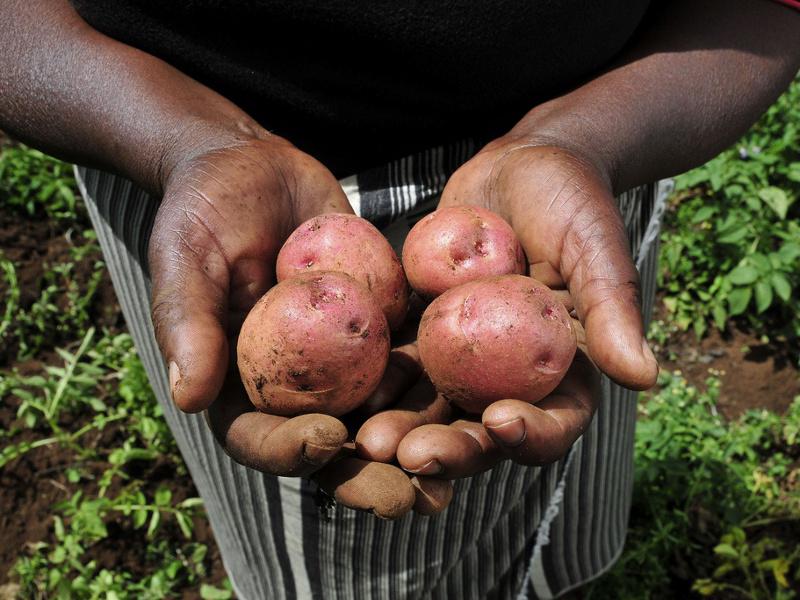 Kenyan farmer with potatoes
