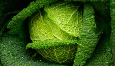 Head of Savoy cabbage