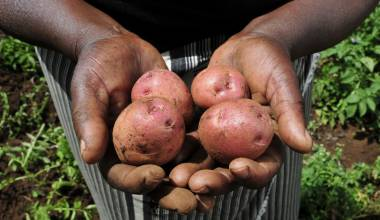 Kenyan farmer with potatoes