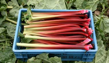 Freshly harvested rhubarb